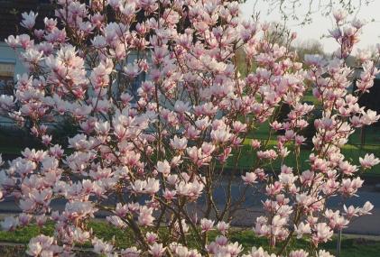 Die Magnolie vor dem Haus, jedes Jahr schöner