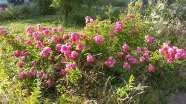 Kleine rosa Rosen